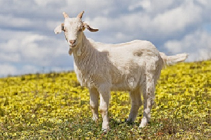 Name:  1024px-Domestic_goat_kid_in_capeweed.jpg