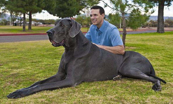George Great Dane Biggest Dog in the World