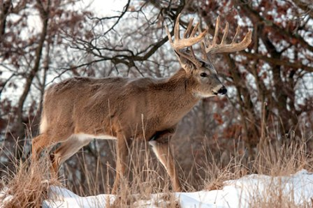 Name:  whitetail-buck-in-snow.jpg