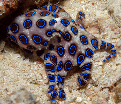 Name:  xotik-pacific-blue-ringed-octopus-4.jpg