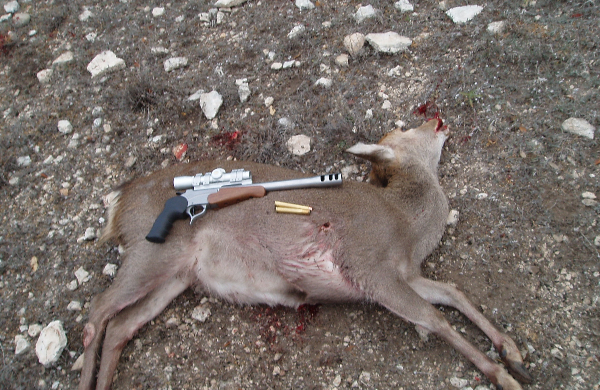 No such thing as too much gun.  This Texas Sika doe was killed on a management hunt with an SSK Custom Encore in 470 Nitro Express